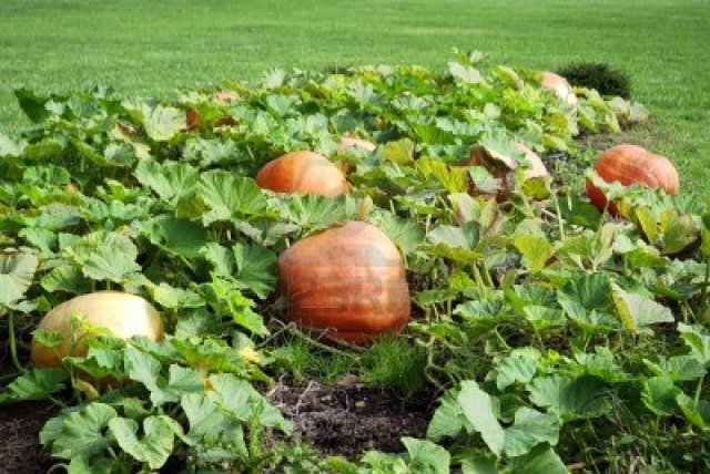 4539429-cultivation-pumpkins-in-the-garden