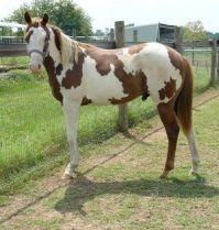 pinto-horse-profile