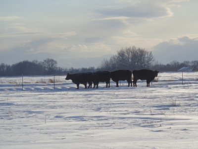Cows, their pasture is all covered up with snow!