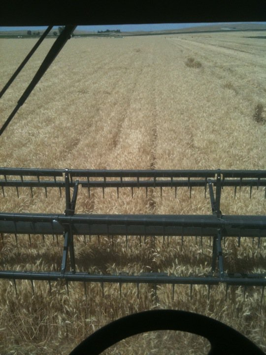View of wheat harvest from the combine driver's seat
