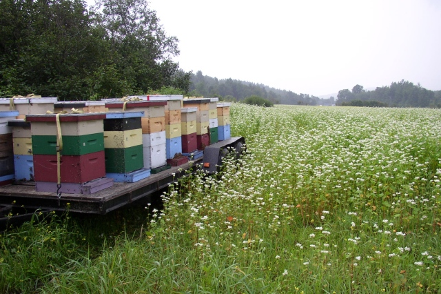 Hives in a buckwheat field Photo source