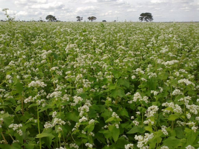 Field of buckwheat Photo source
