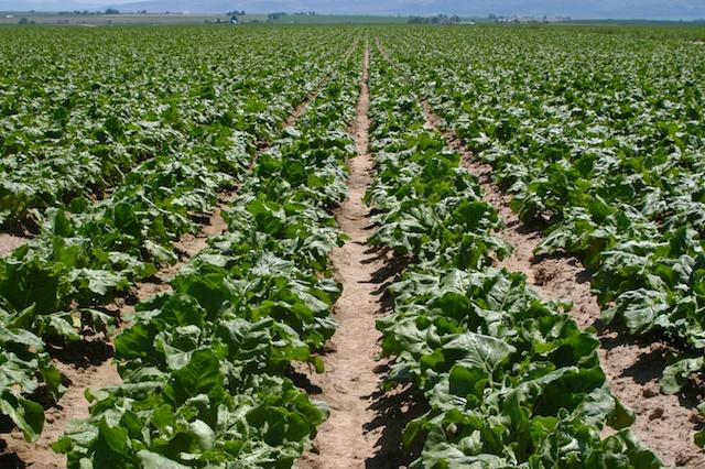 Field of sugar beets.  Photo by Don Morishita