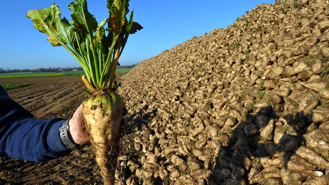 Sugar beets Photo source