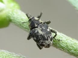 Canada thistle stem weevil