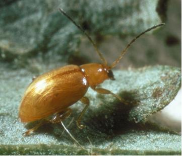Tansy Ragwort flea beetle
