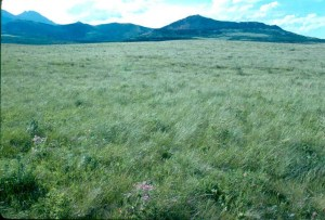 rough fescue grassland in landscape