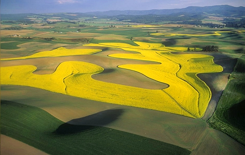 Canola fields in the Palouse Photo source