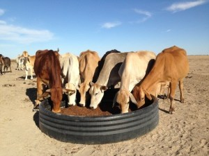 Cows-on-supplements