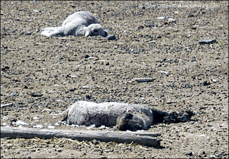 Lambs lost in a wolf attack Photo source