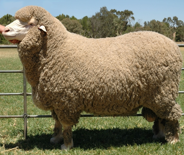 A Merino sheep before being shorn. Photo Source