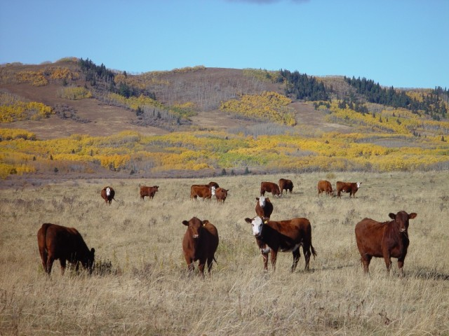 Beef cattle out on the range. Photo source