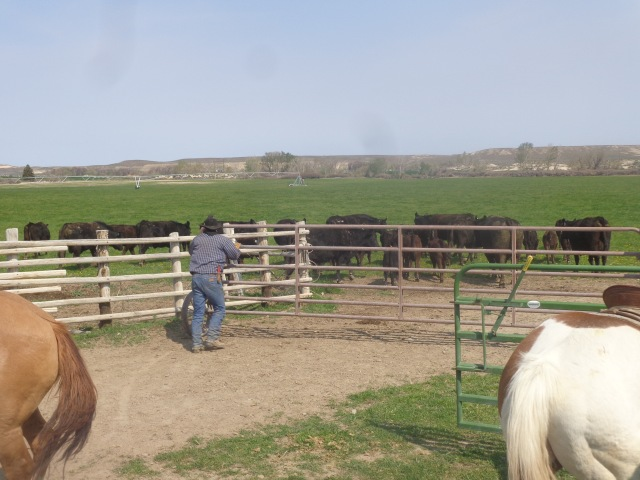 Bill, turning his cows and calves out after working them.