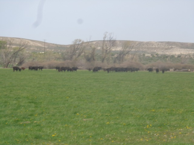 Cows and calves, grazing on lush pasture.