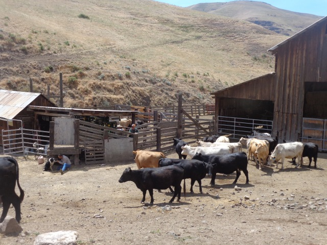 Just vaccinated mother cows, hanging out, waiting for their calves to be returned to them.