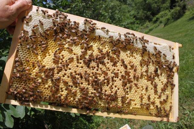 A frame from a beehive showing the bees working on their comb. Photo source.