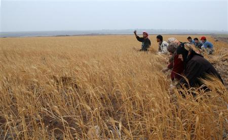 Syrian farmers harvest wheat in a field in Assanamein area, south of Damascus August 20, 2009. REUTERS/Khaled al-Hariri