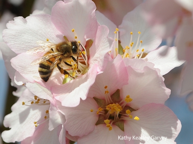 A honeybee hard at work in an almond tree. Photo source