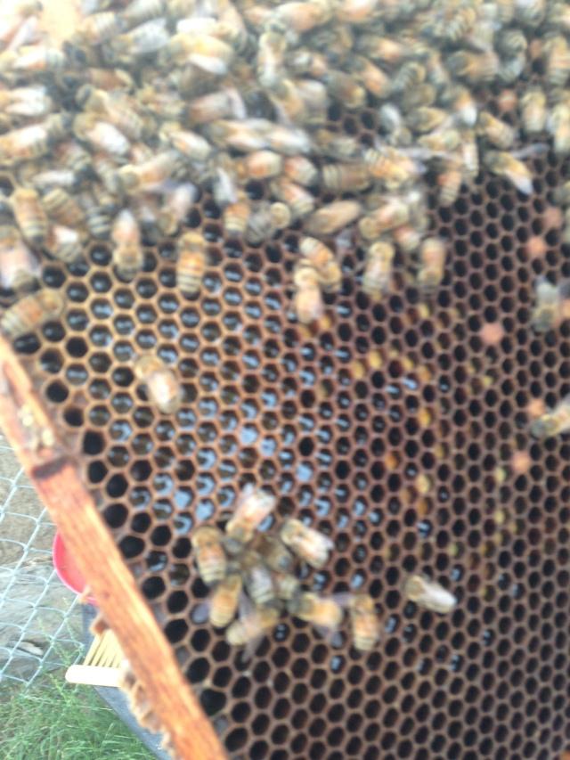 Some uncapped honey cells