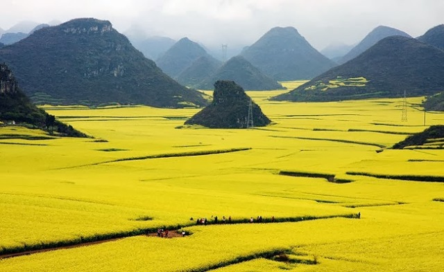 11-Canola-Flower-Fields-China