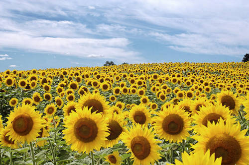 field-of-sunflowers_46532