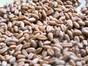 Wheatberries