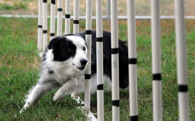 20120804_agility-dog_33