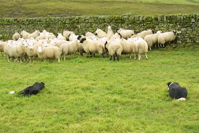 Border Collie and Sheep 8M52D-12
