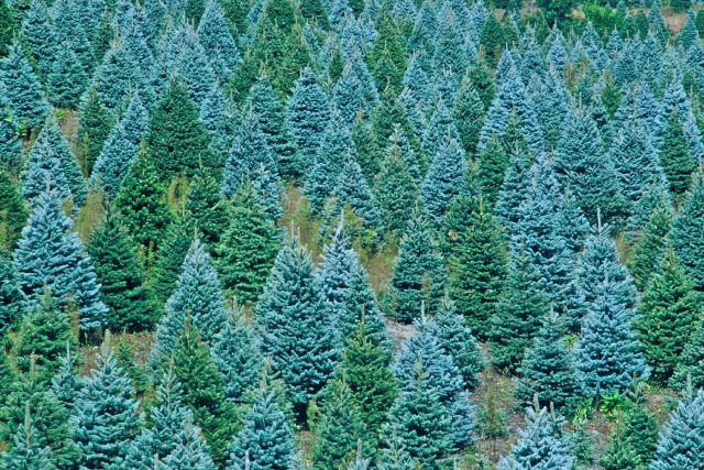 christmas-trees2