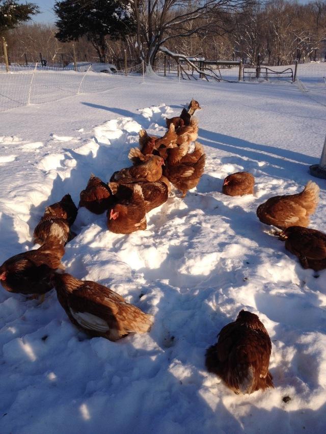 Farming-in-Winter-Sexlinks-in-Snow