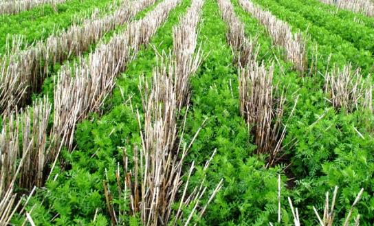 no-till-crop